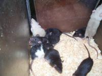 I have 6 week old baby dumbo earred rats for sale. Most