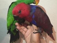I have 2 baby Eclectus parrots Male (Green) and a
