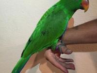 Upgraded: 1-11-15. I have 1 baby female eclectus