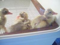 BABY FAWN & & WHITE INDIAN JOGGER DUCKS $2 EACH WILL