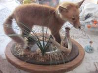 very nice baby fox mount.300 dan  Location: anoka