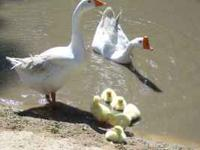 We have some very cute White Chinese Goose babies for