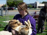 HUGE PET RABBITS (PETS ONLY, not meat). Beautiful brown