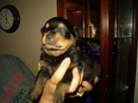 I have 1 female pup available after Nov 8 2013, She is