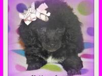 Cute little Malti-poo female. Current shots and