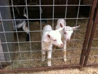 4 Baby Goats, bottle feed, 12 weeks old, eating hay &