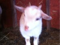 I have 4 baby goats for sale $100 each About 6 to 8