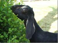 2011 babies of our pure bred registered nubian goats