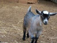 I have 6 baby goats for sale. Taking deposits now for