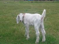 Lots of baby goats available. Nubians Mini Nubians