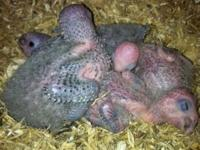 Nestbox Greencheek babies for sale to expierenced