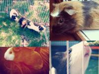 Baby Guinea pigs!! All colors, long and short