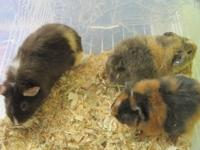 all guinea pigs are handled from birth, tame, friendly,