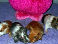 Sweet guinea pigs, male and females and friendly. We