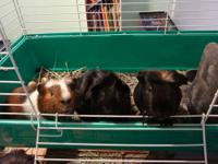 Three male guinea pigs,15weeks old. One longer fluffy