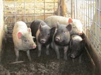 I have 5 Hampshire X piglets left! There is 1 male and