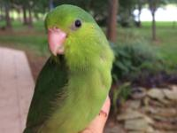 I have 2 green female parrotlets that I pulled out of