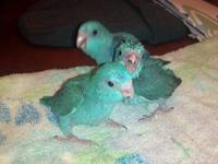 I have a STUNNING blue mountain lory needing a new