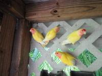 $40.00 , Yellow Peach Face Lovebird ,( Black Eyes )