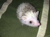 Here is a whitefaced 7 week old baby female hedgehog.