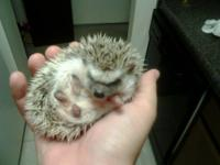 I have a male, pinto hedgehog baby that will be ready