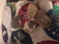Baby hedgehogs are ready to go home now they are 6