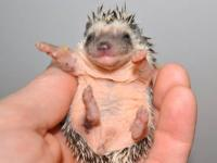 We have two female hoglets available for deposit, no