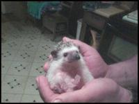 I am a USDA licensed hedgehog breeder in Dayton Ohio. I
