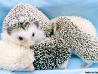 Baby Hedgehogs Registered and have pedigrees small USDA