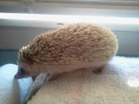 I have 10 baby hedgehogs to sell. They are held every