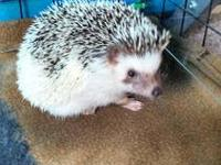 Baby hedgehogs for sale!! One of my female hedgies just