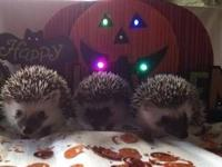 Baby hedgehogs available for deposit. Males and females