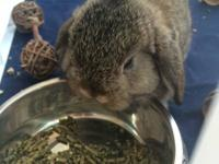 Animal Type: Rabbit Purebred baby Holland Lop ready to