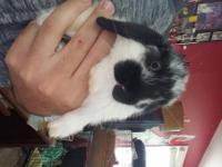 Will be Litter trained Purbred holland lops Comes with