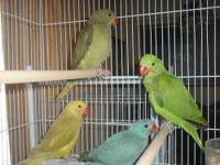 4 baby Indian Ringneck parrots. They are green, olive