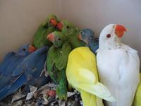 Gorgeous Baby Indian Ringnecks for Sale - Many colors