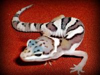 We have 2 baby leopard geckos ready for their new home.