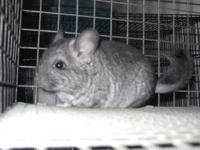 I have a beautiful baby, light ebony, male Chinchilla