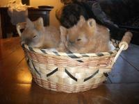 We have 1 baby red lionhead bunny left from our litter