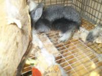 Baby long haired rabbits...One tan, one black and
