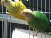 3 babies love birds for hand feed experience $25 each