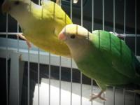 3 babies love birds for hand feed $25 each or take all