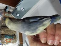 Hand fed lovebirds single Factor Violet pied available