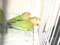I have 4 baby handfed lovebirds and I am keeping one.