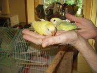 Hand fed baby lovebirds one month. 1 picture are the