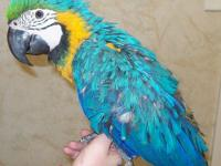 Adorable Macaw, Cockatoo, Eclectus, Goffin, Amazon,