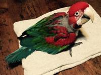 Baby Male Green-Wing Macaw (Ara chloropterus) for sale