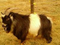 I have three baby pygmy male goats for sale. These