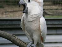 Beautiful Military Macaw baby for sale. We are the