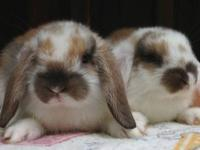 Mini Lop baby bunnies available now! Several beautiful